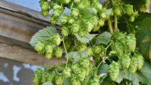 Callista – 源自德国的新星啤酒花
