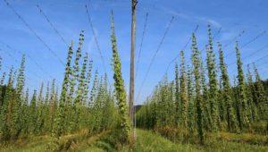 啤酒花种植与丰收